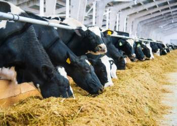Cows in a farm. Dairy cows. Cowshed