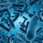 Lactobacillus  ONE OF SIX BACTERIA KINDS
