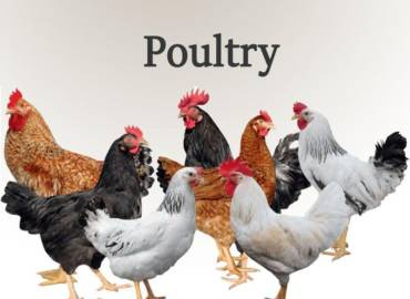 4-Poultry