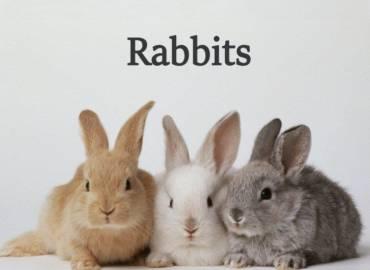 5-Rabbits